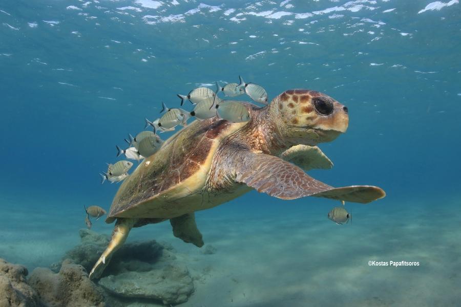 Sea turtles in the Mediterranean Region - MTSG Reg...